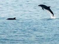 Τα παιχνίδια των δελφινιών του Πατραϊκού... ΒΙΝΤΕΟ