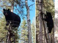 Αρκούδα 113 κιλών κατεβαίνει από ψηλό δέντρο... ως άλλος ακροβάτης!