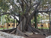 Το μεγαλύτερο και ομορφότερο δέντρο ΒΑΝΥΑΝ στην Ελλάδα, βρίσκεται στην Πάτρα - ΦΩΤΟ