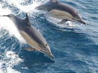 SOS: Εξαφανίζονται τα δελφίνια του Ιονίου- Μέτρησαν μόλις 17...