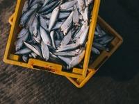 Φτιάχνουν υπερτροφές για ψάρια - Ξεκινά πρόγραμμα στην Ελλάδα