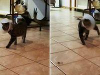 Γάτα περπατά σαν... ράπερ!