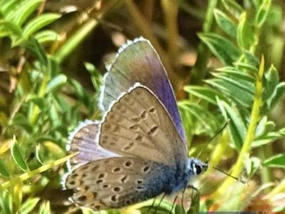 Η σπάνια και πανέμορφη μπλε πεταλούδα του Χελμού