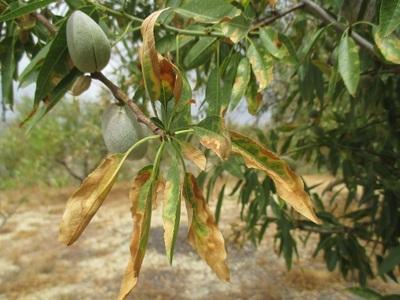 Ενημέρωση των αγροτών για το επικίνδυνο φυτοπαθογόνο βακτήριο Xylella fastidiosa