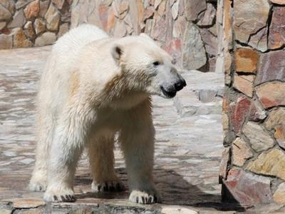 Μια πολική αρκούδα χάθηκε 800 χιλιόμετρα μακριά από το σπίτι της