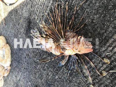 Και άλλο λεοντόψαρο, ψάρεψε αλιέας στο Ιόνιο