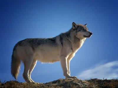 Οι λύκοι επιστρέφουν στα Ελληνικά βουνά