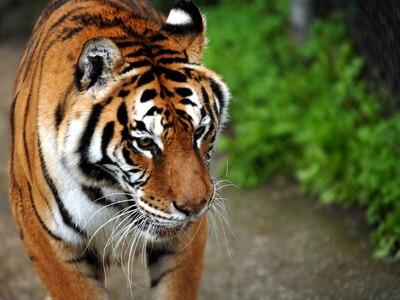 Τίγρης κατασπάραξε φύλακα ζωολογικού κήπου