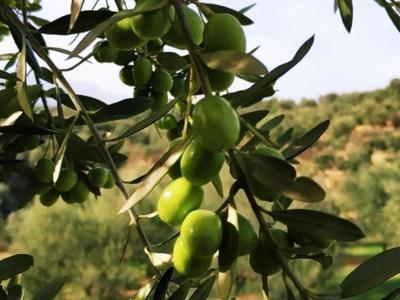 Παγκόσμια πρωτιά για το Ελληνικό ελαιόλαδο για δεύτερη χρονιά