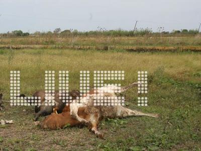 Ηλεία - Γαστούνη: Κεραυνός σκότωσε αγελάδες σε στάβλο - ΦΩΤΟ