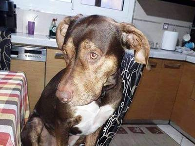 Χάθηκε σκύλος στην Οβρυά – Ακούει στο όνομα Ραούλ