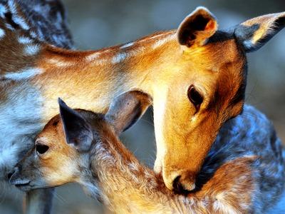 Η ελαφίνα γλύφει το παιδί της