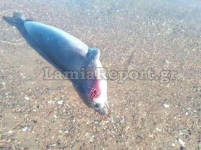 Νεκρή φώκια σε παραλία της Φθιώτιδας- ΦΩΤΟ