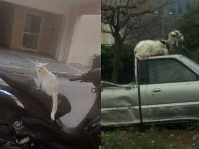 Γάτα και κατσίκα, οδηγοί στην Πάτρα