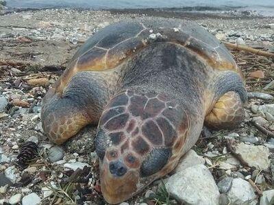 Πάτρα: Νεκρή χελώνα καρέτα-καρέτα στην π...