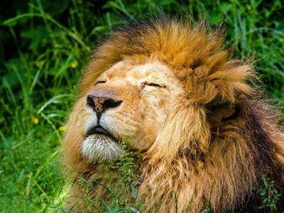 Έτσι φτερνίζεται ένα λιοντάρι!