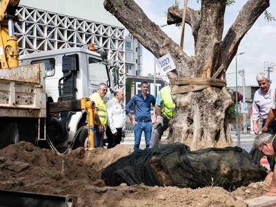 Ο Δήμος Αθηναίων μεταφύτευσε αιωνόβιες ελιές από την Ακράτα, στην Ιερά Οδό - ΦΩΤΟ