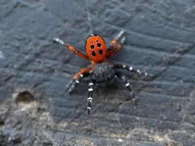 Αιτωλοακαρνανία: Εμφανίστηκε σπάνιο είδος αράχνης