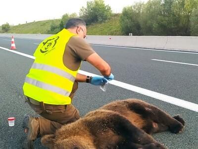 Τροχαίο με θύμα νεαρή αρκούδα στην Εγνατ...