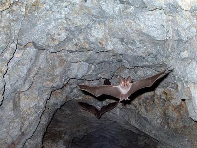 Η μεγαλύτερη αποικία νυχτερίδων στην Ελλάδα είναι στην Αχαΐα