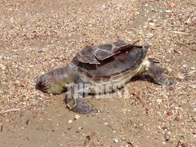 Πάτρα: Νεκρή θαλάσσια χελώνα στην Εύα- ΦΩΤΟ
