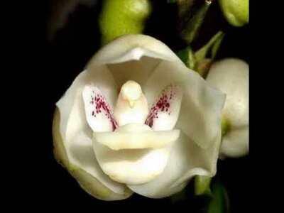 Λουλούδι του Αγ. Πνεύματος: Ανθίζει 1 φο...