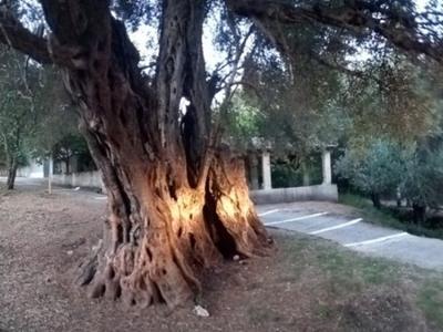 «Ευδοκία», το ελαιόδεντρο που περίμενε 11 αιώνες να του κάνουν γενέθλια