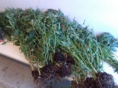 Πλούσια καλλιέργεια χασίς στην Ηλεία - Χειροπέδες σε δύο άνδρες