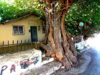 Πάτρα: Η μουριά-έμβλημα της Άνω Πόλης ζε...
