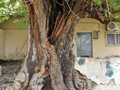 Ίσως το παλαιότερο δένδρο της Πάτρας - Η μουριά του Παντοκράτορα