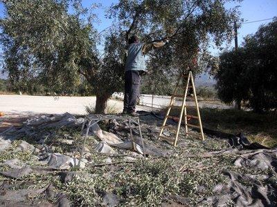 Αίγιο: 78χρονος έβαλε αλλοδαπούς να μαζέψουν ελιές ενός τόνου από... ξένο ελαιώνα