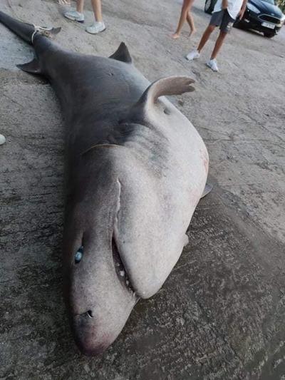 Έβγαλαν τεράστιο καρχαρία-σαπουνά στα Αραχωβίτικα της Πάτρας (photos- video)