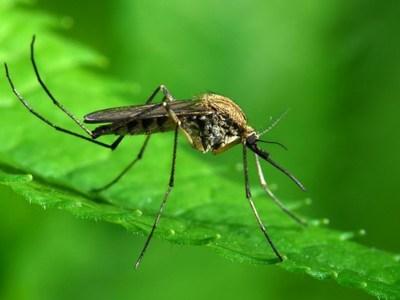 Προσοχή στα κουνούπια-Προφυλαχθείτε από τον ιό του Δυτικού Νείλου