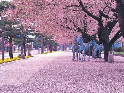 Ιαπωνία: Ανθίζουν πρόωρα οι κερασιές - &...