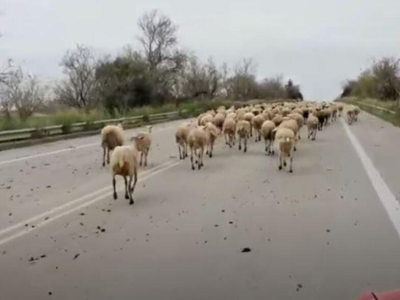 Ηλεία: Απίστευτο! Πρόβατα βγήκαν τη βόλτα τους στην Ε.Ο. Πύργου-Πατρών στο ύψος της Γαστούνης!!!  (ΒΙΝΤΕΟ)